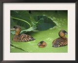 White Backed Ducks with Chick, Belgium, Native to Africa Prints by Philippe Clement