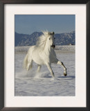 Gray Andalusian Stallion, Cantering in Snow, Longmont, Colorado, USA Poster by Carol Walker