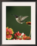 Ruby Throated Hummingbird, Male Flying, Texas, USA Prints by Rolf Nussbaumer