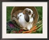 French Lop Eared Rabbit in a Tub Print by Lynn M. Stone
