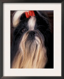 Shih Tzu Portrait with Hair Tied Up Print by Adriano Bacchella