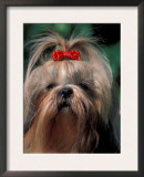 Shih Tzu with Hair Tied Up Poster by Adriano Bacchella