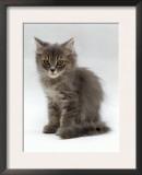 Domestic Cat, 10-Week, Grey Tabby Persian-Cross Kitten Prints by Jane Burton