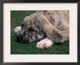 Spanish Mastiff Puppy Lying Down Art by Adriano Bacchella