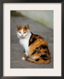 Domestic Cat Sitting (Felis Catus) Europe Posters by  Reinhard