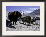 Yaks at the Base Camp of the Everest North Side, Tibet Prints by Michael Brown