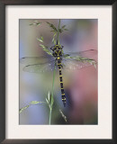 Golden-Ringed Dragonfly (Cordulegaster Boltonii) UK Posters by Kim Taylor