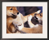 Domestic Dogs, Two Young Shiba Inus Playfighting Prints by Adriano Bacchella