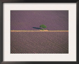 Aerial View of Tree in Lavender Field, Baronnies, Provence, France Prints by Jean E. Roche