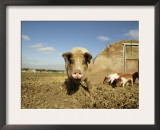 Free Range Organic Sow and Piglets, Wiltshire, UK Print by T.j. Rich