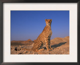 Cheetah, Tsaobis Leopard Park, Namibia Posters by Tony Heald