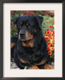 Rottweiler Dog Portrait, Illinois, USA Print by Lynn M. Stone