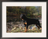 Rottweiler Dog, Illinois, USA Prints by Lynn M. Stone