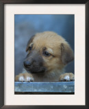 Half / Mixed Breed Puppy Print by Adriano Bacchella