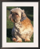 Shih Tzu Puppy Sitting on Grass Prints by Adriano Bacchella