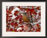 American Robin, Female Feeding in Black Hawthorn, Grand Teton National Park, Wyoming, USA Print by Rolf Nussbaumer