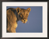 Lioness Portrait, Etosha National Park, Namibia Posters by Tony Heald