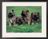 Domestic Dogs, Belgian Malinois / Shepherd Dog Puppies Sitting / Lying Together Poster by Adriano Bacchella