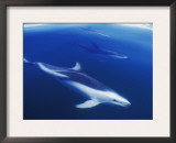 Dusky Dolphins Just Below Surface, False Bay, South Africa Print by Tony Heald