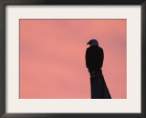 American Bald Eagle Silhouette at Sunrise, Alaska Print by Rolf Nussbaumer