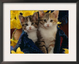 Domestic Cat, Two Tabby-Tortoiseshell-And-White Kittens in Blue Bag with Daffodils Art by Jane Burton