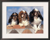Three King Charles Cavalier Spaniel Adults Posters by Adriano Bacchella