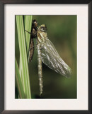 Migrant Hawker Dragonfly Just Emerged from Pupa, Cornwall, UK Prints by Ross Hoddinott