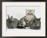 Blue-Silver Exotic Shorthair Kitten with Baby Silver Lionhead Rabbits Art by Jane Burton