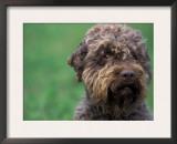 Domestic Dog- Lagotta Romagnolo Portrait Art by Adriano Bacchella