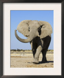 African Elephant, Walking, Namibia Art by Tony Heald