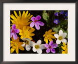 Mixed Spring Flowers Including Meadow Saxafrage and Celandine Prints by Brian Lightfoot