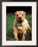 Young Shar Pei Portrait Showing Wrinkles on Head and Chest Prints by Adriano Bacchella