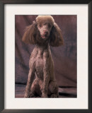 Brown Miniature Poodle Studio Portrait with Full Ears But Most of Its Hair Clipped Prints by Adriano Bacchella