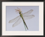 Southern Hawker Dragonfly (Aeshna Cyanea) Female, UK Posters by Kim Taylor
