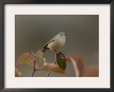 Ruby Crowned Kinglet, Adult in Black Hawthorn, Grand Teton National Park, Wyoming, USA Posters by Rolf Nussbaumer