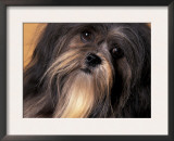 Lhasa Apso Face Portrait Poster by Adriano Bacchella