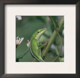 Green Anole, Juvenile, Texas, USA Prints by Rolf Nussbaumer