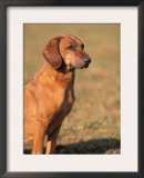 Tyrolean Bloodhound Portrait Prints by Adriano Bacchella