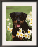 Rottweiler Dog Amongst Daffodils, USA Posters by Lynn M. Stone