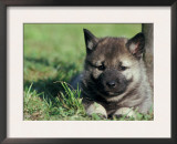 Norwegian Elkhound Puppy Lying in Grass Prints by Adriano Bacchella