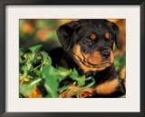 Rottweiler Puppy in Grass Prints by Adriano Bacchella