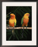 Sun Conures Posters by Lynn M. Stone