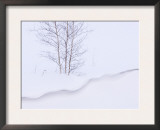Silver Birch, in Winter Snow Cornice, Estonia Prints by Niall Benvie