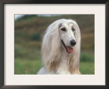 Afghan Hound Portrait Posters by Adriano Bacchella