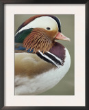 Mandarin Duck, Close up of Male Head, USA Print by John Cancalosi