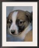 Half / Mixed Breed Puppy Prints by Adriano Bacchella