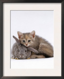Domestic Cat, Silver Tortoiseshell Kitten with Silver Dwarf Lop Eared Rabbit Prints by Jane Burton