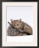Domestic Cat, Silver Tortoiseshell Kitten with Silver Dwarf Lop Eared Rabbit Prints by Jane Burton