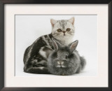 Blue-Silver Exotic Shorthair Kitten with Baby Silver Lionhead Rabbit Posters by Jane Burton