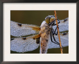 Four Spotted Libellula Dragonfly Covered with Dew, Kalmthoutse Heide, Belgium Prints by Bernard Castelein